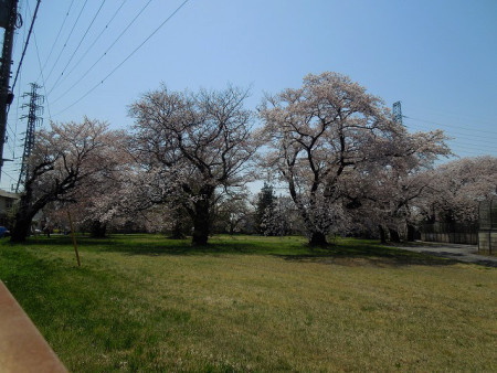 東京電力武蔵野変電所の桜