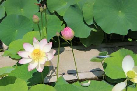 lotus02IMG_1230
