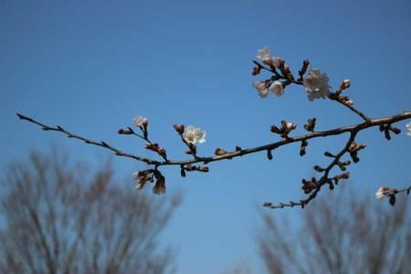 ソメイヨシノは咲いていた(いこいの森公園、3月26日午後1時34分撮影)