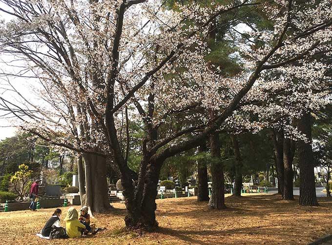 小平霊園の花見