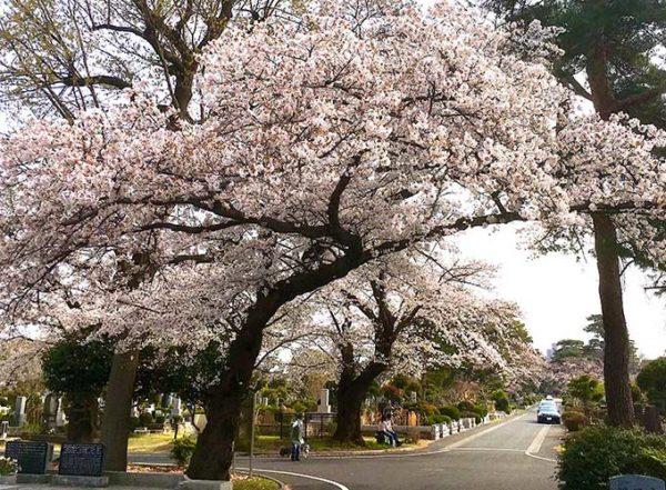 桜が満開の小平霊園