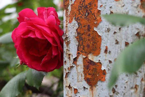 萎れかけたバラ