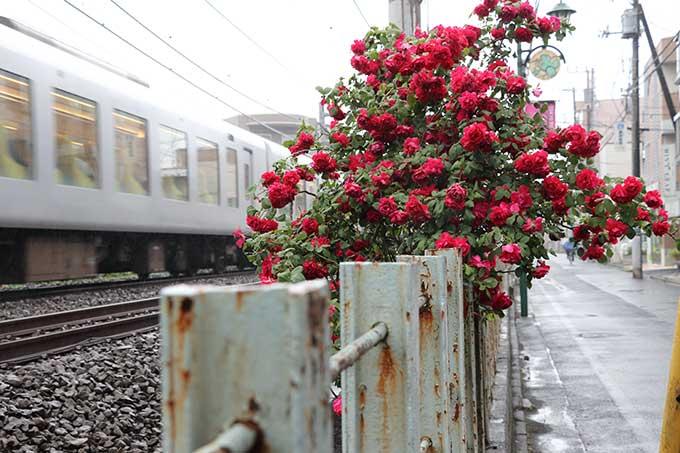 線路際のバラ